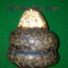 Penarikan Batu Mustika ( Mustika Raja Ular )