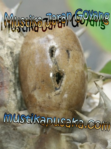 Mustika Combong