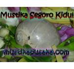 Mustika Keong Buntat Segoro Kidul